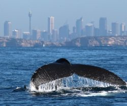 Whale Watching in Sydney – A Season to Remember.